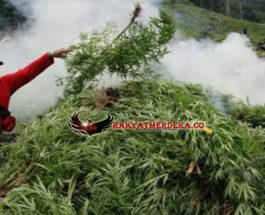 Seluas 15 Hektar Kebun Ganja Berhasil Ditemukan Di Aceh