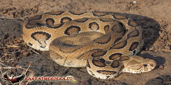Ular Viper / Russell's Viper Snake