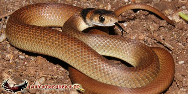 Ular Cokelat Timur / Eastern Brown Snake