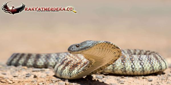 Ular Harimau / Tiger Snake