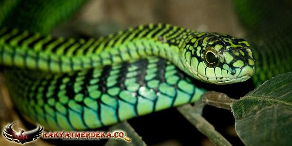 Ular Pohon / Boomslang Snake