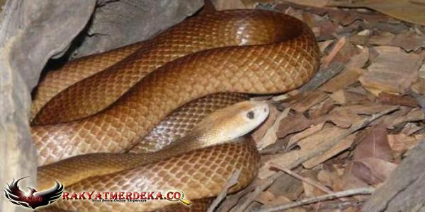 Ular Taipan / Taipan Snake