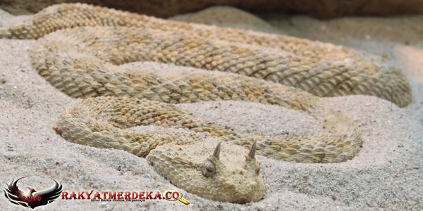 Ular Viper Bertanduk / Desert Horned Viper Snake