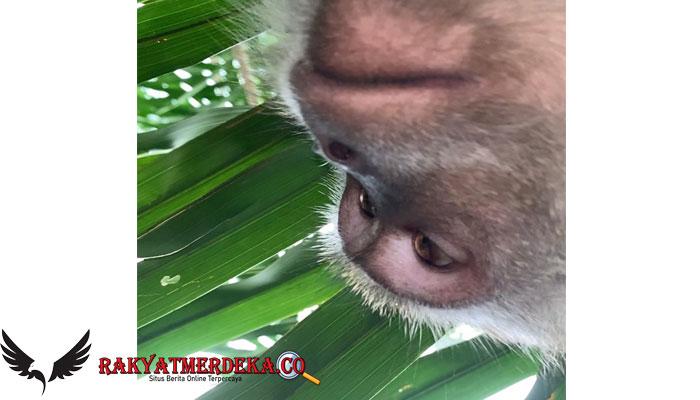 Viral Video Curi Ponsel, Monyet Ini Malah Pergunakan 'Selfie'