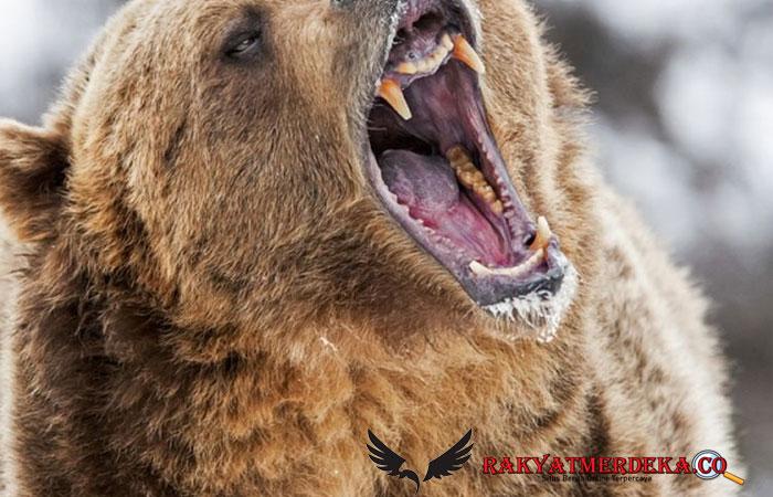 Pawang Kebun Binatang Tewas Dimakan Kawanan Beruang di Depan Pengunjung