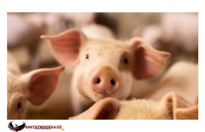 Setelah Disambangi WHO, China Klaim Virus Corona Berasal dari Kepala Babi
