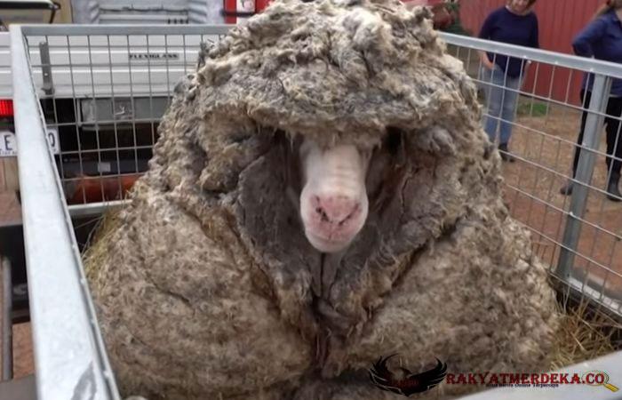 """Domba """"Gondrong"""" Berhasil Diselamatkan, Berat Bulunya 35 Kg Setelah Dicukur"""